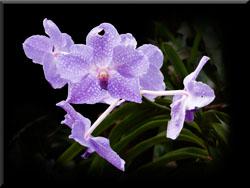 Olympus PEN - Lilac Glow