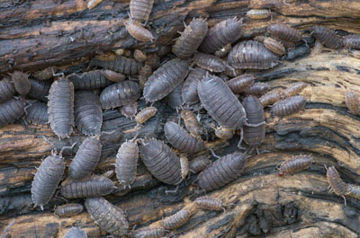 K-5 Common Rough Woodlice ISO 6400